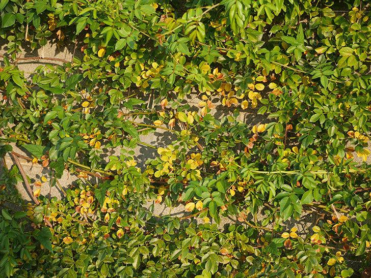 地植えのツルバラの葉が大量に黄色くなってきた。2020年-017.jpg
