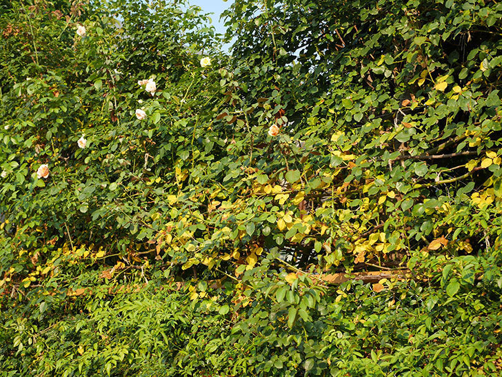 地植えのツルバラの葉が大量に黄色くなってきた。2020年-018.jpg
