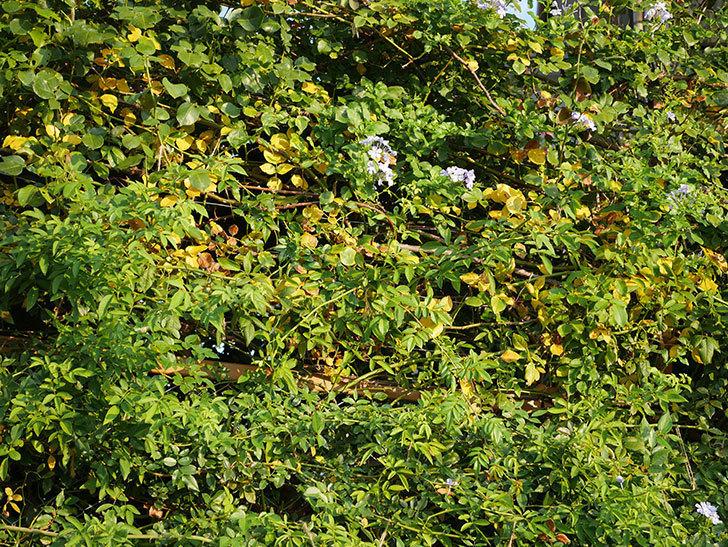 地植えのツルバラの葉が大量に黄色くなってきた。2020年-019.jpg