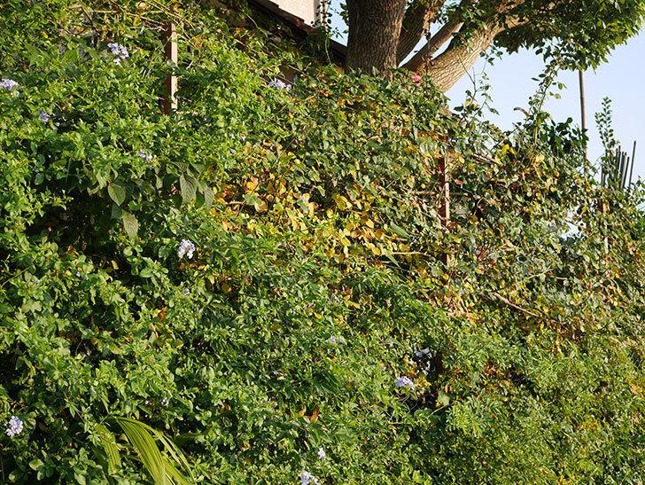 地植えのツルバラの葉が大量に黄色くなってきた。2020年-020.jpg