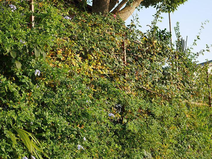地植えのツルバラの葉が大量に黄色くなってきた。2020年-021.jpg