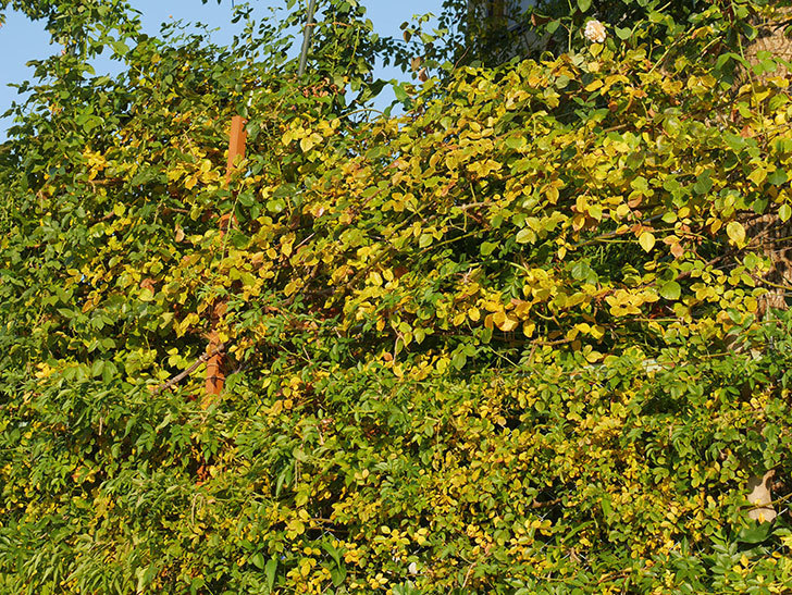 地植えのバラの葉が紅葉みたいに一斉に黄色くなってしまった。2019年-18.jpg