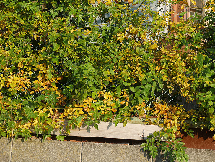 地植えのバラの葉が紅葉みたいに一斉に黄色くなってしまった。2019年-19.jpg