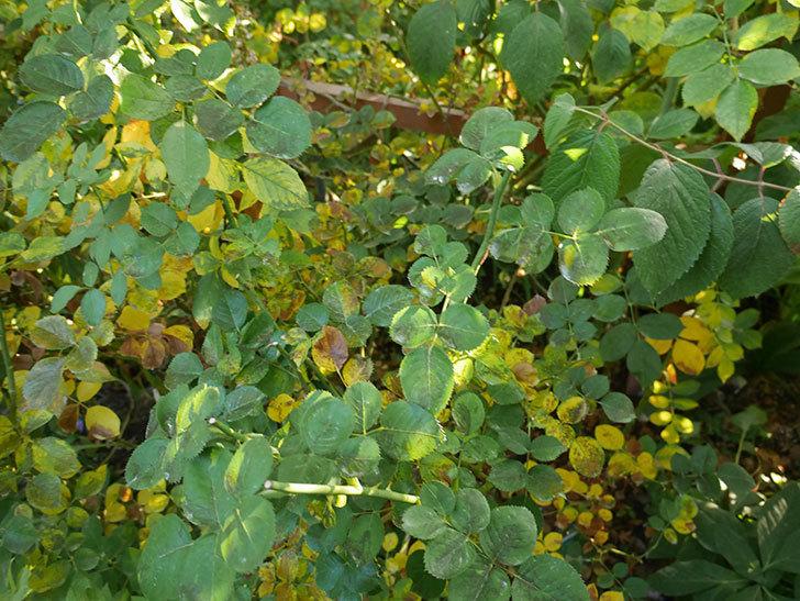 地植えのバラの葉が紅葉みたいに一斉に黄色くなってしまった。2019年-42.jpg