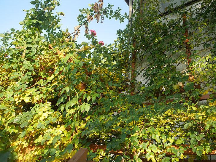 地植えのバラの葉が紅葉みたいに一斉に黄色くなってしまった。2019年-49.jpg