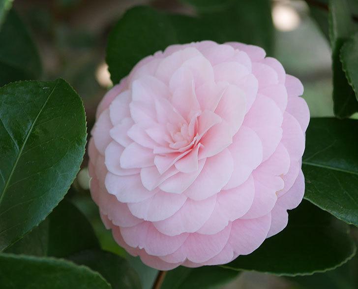 地植えのピンクのツバキの花が咲いた。2020年-2.jpg