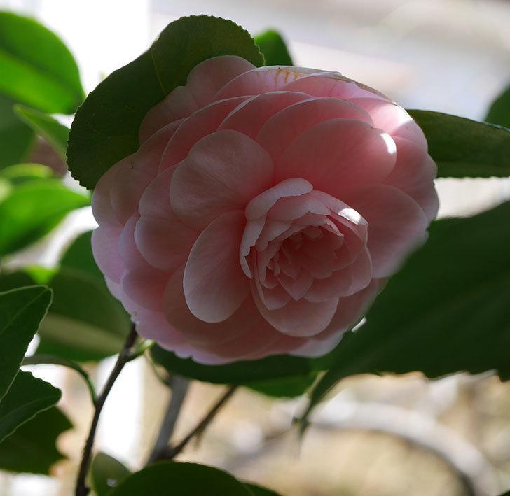 地植えのピンクのツバキの花が咲いた。2020年-3.jpg