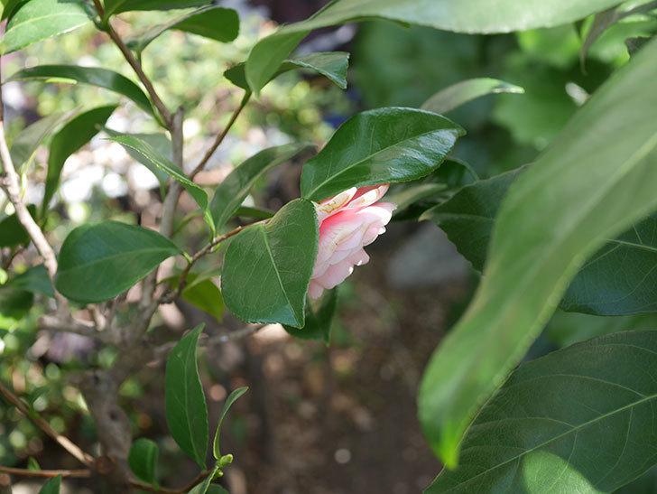 地植えのピンクのツバキの花が咲いた。2020年-4.jpg