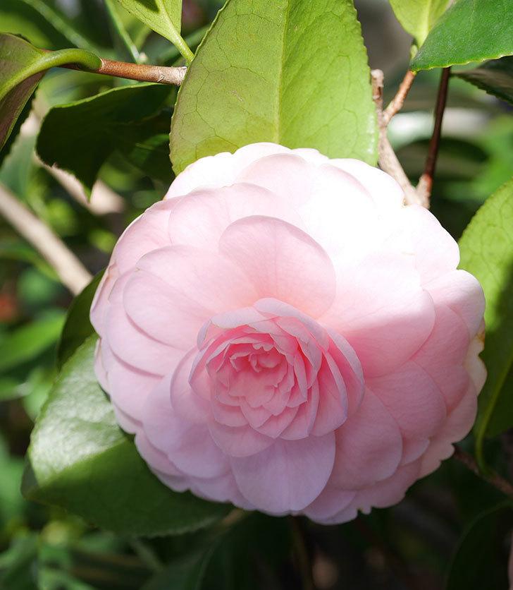地植えのピンクのツバキの花が咲いた。2020年-5.jpg