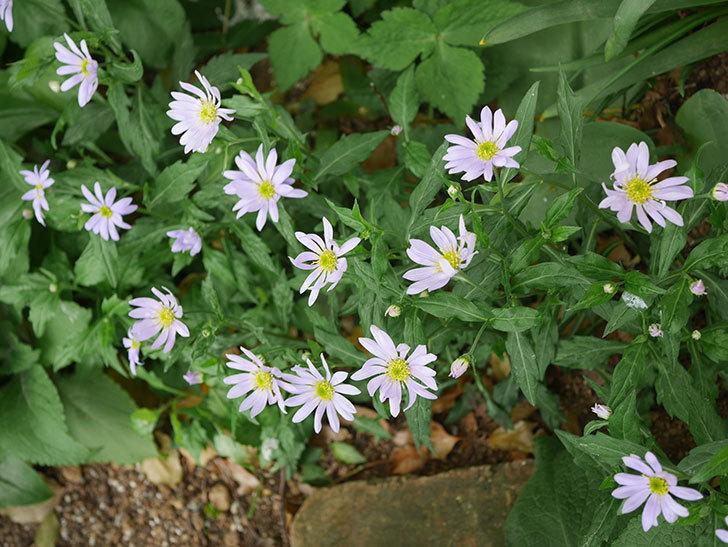 地植えのミヤコワスレ(ノシュンギク)の花が咲いた。2020年-1.jpg