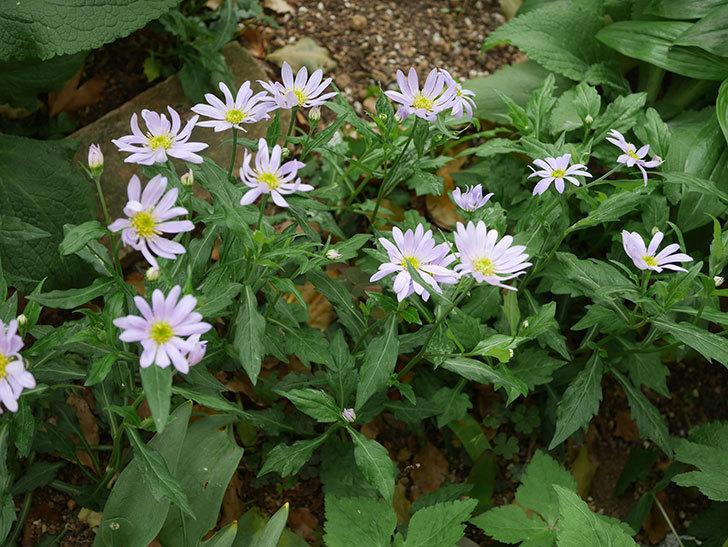 地植えのミヤコワスレ(ノシュンギク)の花が咲いた。2020年-2.jpg