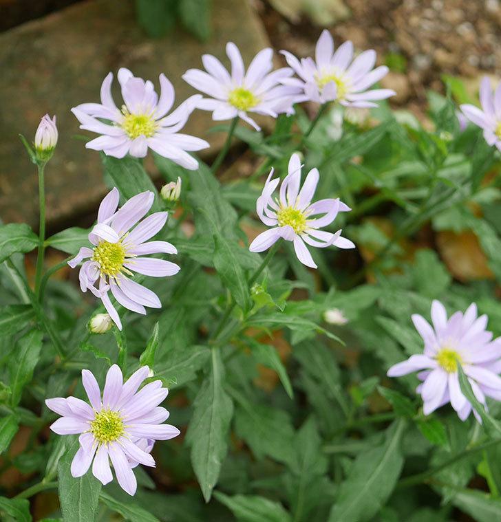 地植えのミヤコワスレ(ノシュンギク)の花が咲いた。2020年-3.jpg
