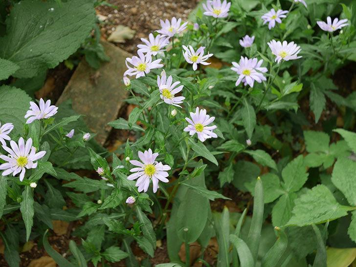地植えのミヤコワスレ(ノシュンギク)の花が咲いた。2020年-4.jpg