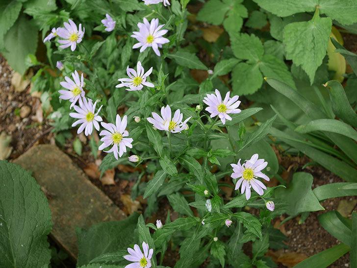 地植えのミヤコワスレ(ノシュンギク)の花が咲いた。2020年-5.jpg