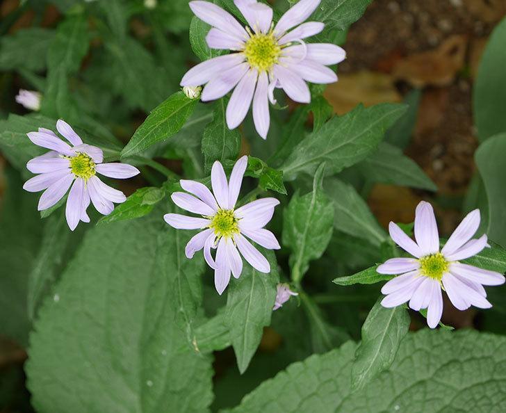 地植えのミヤコワスレ(ノシュンギク)の花が咲いた。2020年-6.jpg