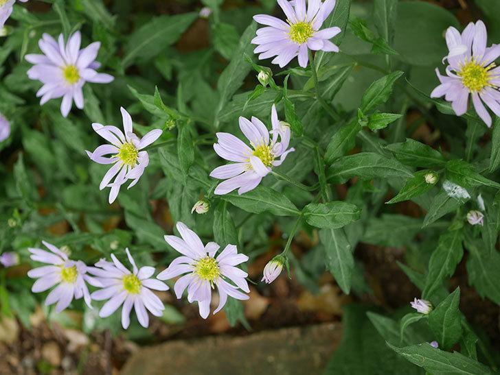地植えのミヤコワスレ(ノシュンギク)の花が咲いた。2020年-7.jpg