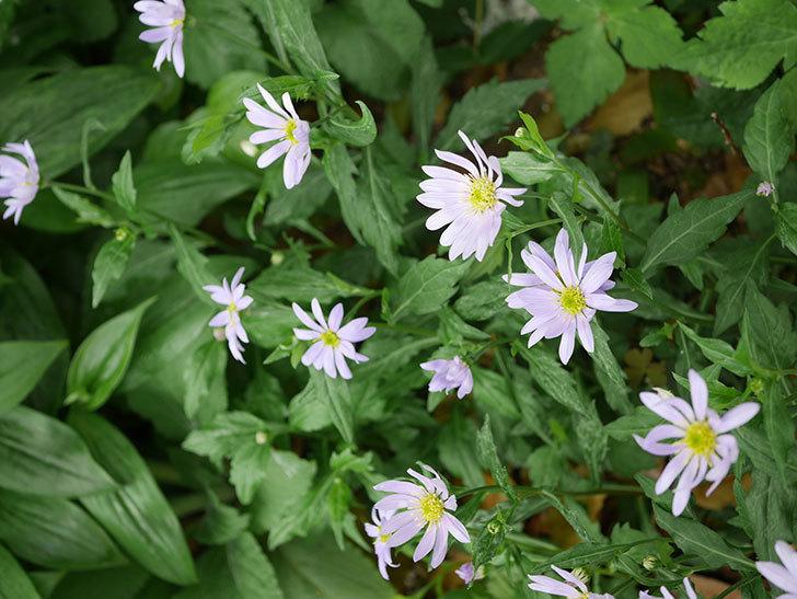 地植えのミヤコワスレ(ノシュンギク)の花が咲いた。2020年-8.jpg