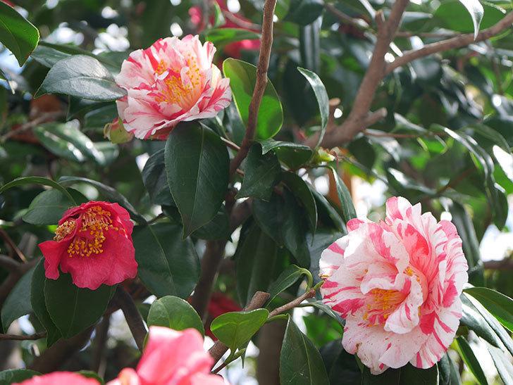 地植えツバキに白と赤のしぼりの花が2個咲いた。2020年-1.jpg