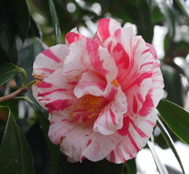 地植えツバキに白と赤のしぼりの花が2個咲いた。2020年-2.jpg