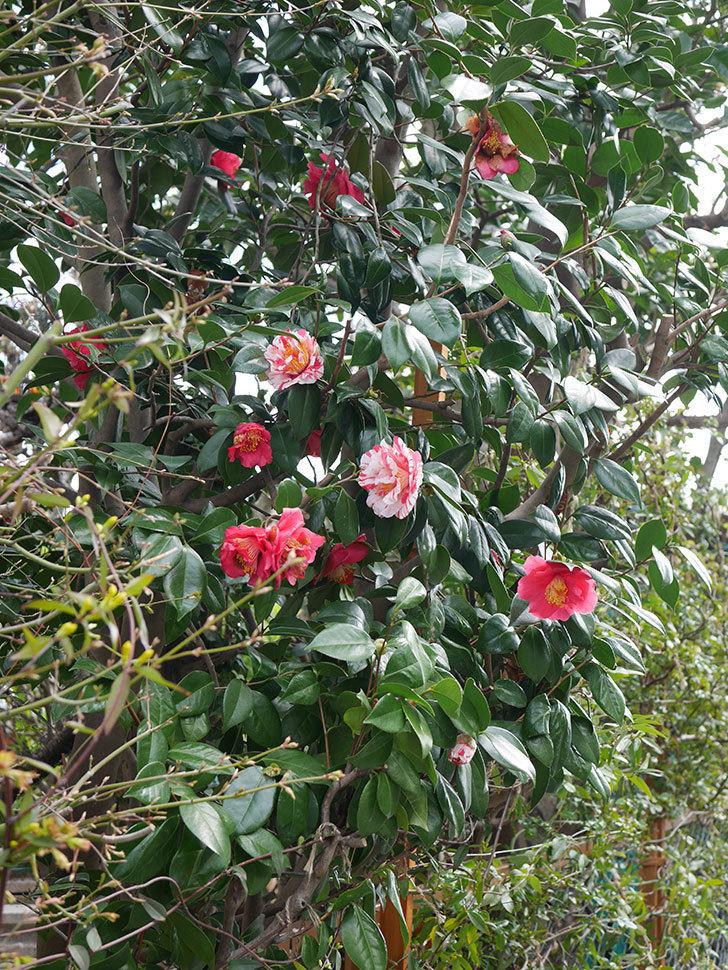 地植えツバキに白と赤のしぼりの花が2個咲いた。2020年-5.jpg