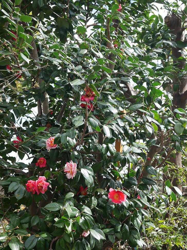 地植えツバキに白と赤のしぼりの花が2個咲いた。2020年-6.jpg