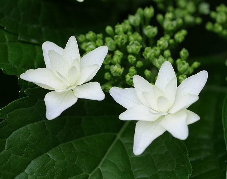 墨田の花火(アジサイ)の花が咲いた。2018年-5.jpg