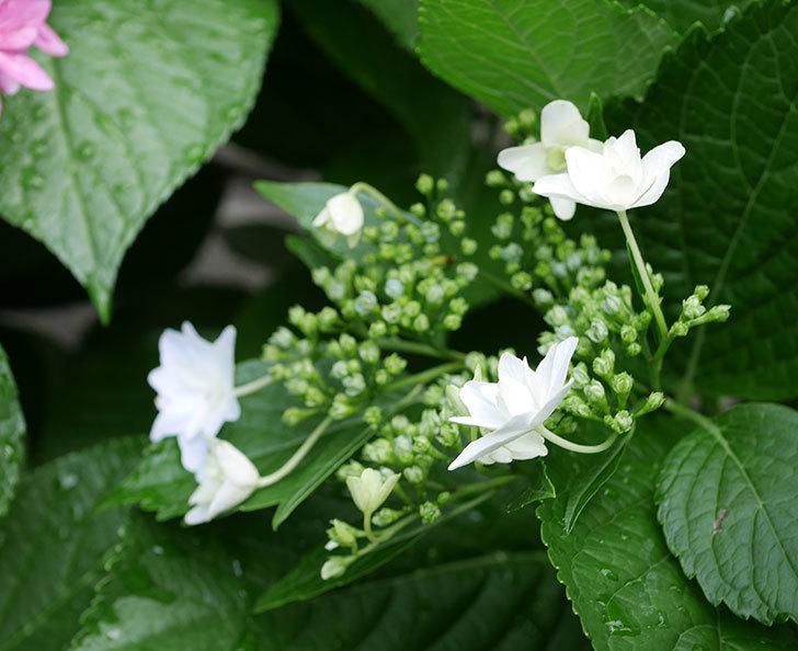 墨田の花火(アジサイ)の花が咲きだした。2019年-2.jpg