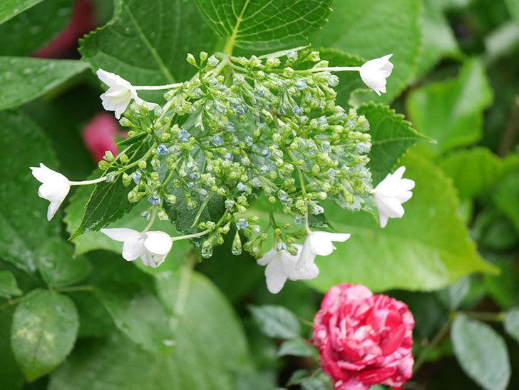 墨田の花火(アジサイ)の花が咲きだした。2021年-010.jpg