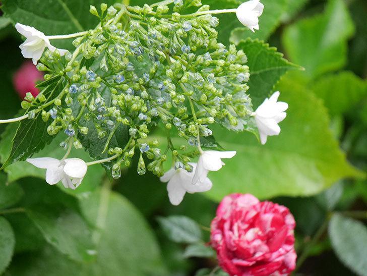 墨田の花火(アジサイ)の花が咲きだした。2021年-012.jpg