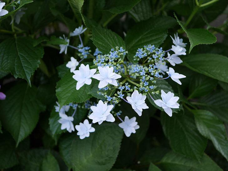 墨田の花火(アジサイ)の花に青みが出てきた。2019年-1.jpg