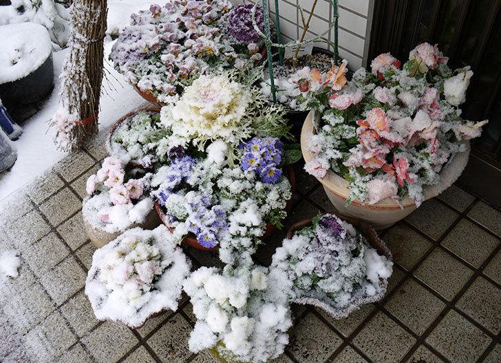 大きい鉢に植え替えた花が更に育ってきたが雪で駄目になりそう1.jpg