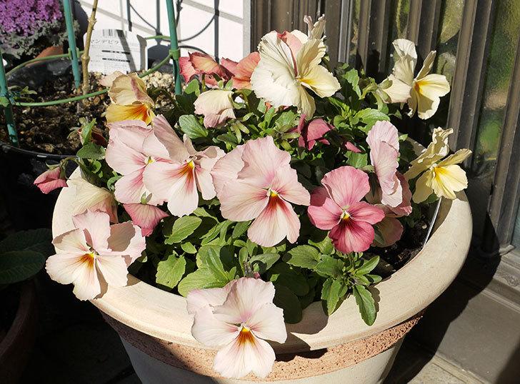 大きい鉢に植え替えた花が更に育ってきたが雪で駄目になりそう10.jpg