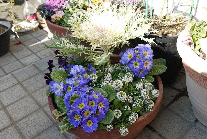 大きい鉢に植え替えた花が更に育ってきたが雪で駄目になりそう11.jpg