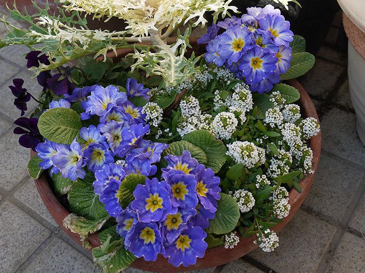 大きい鉢に植え替えた花が更に育ってきたが雪で駄目になりそう12.jpg