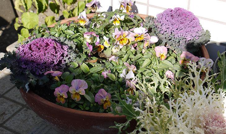 大きい鉢に植え替えた花が更に育ってきたが雪で駄目になりそう13.jpg
