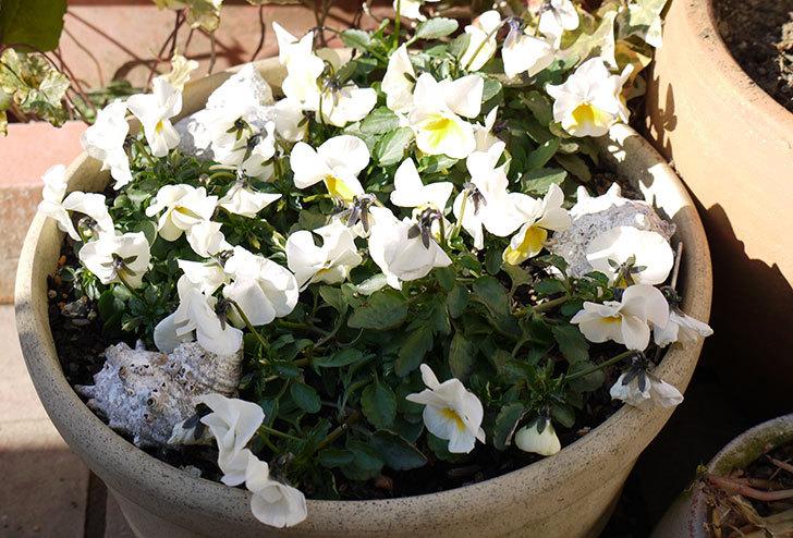 大きい鉢に植え替えた花が更に育ってきたが雪で駄目になりそう14.jpg
