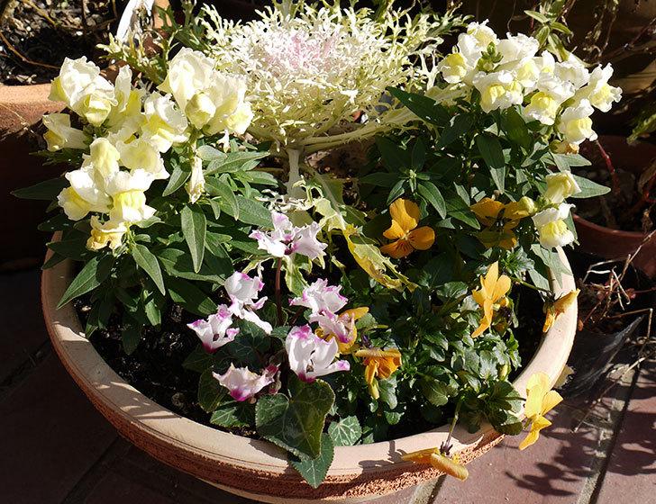 大きい鉢に植え替えた花が更に育ってきたが雪で駄目になりそう15.jpg