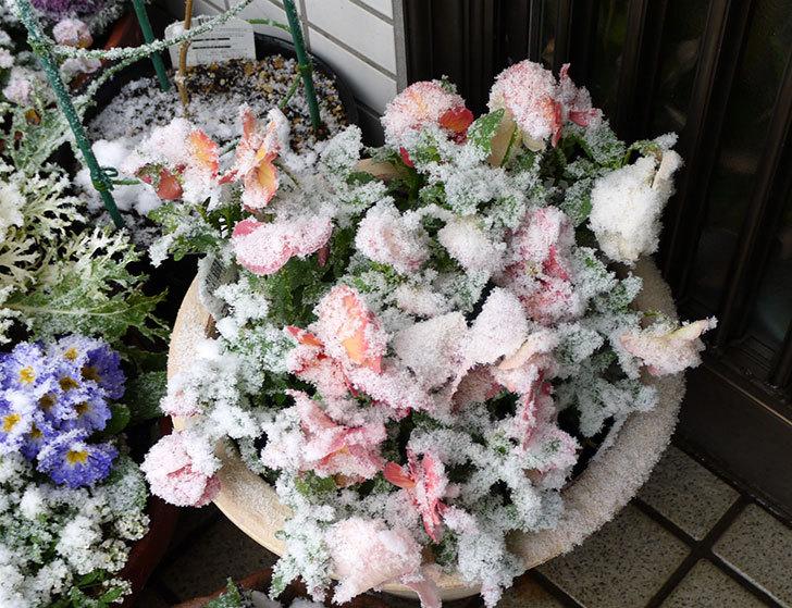 大きい鉢に植え替えた花が更に育ってきたが雪で駄目になりそう2.jpg
