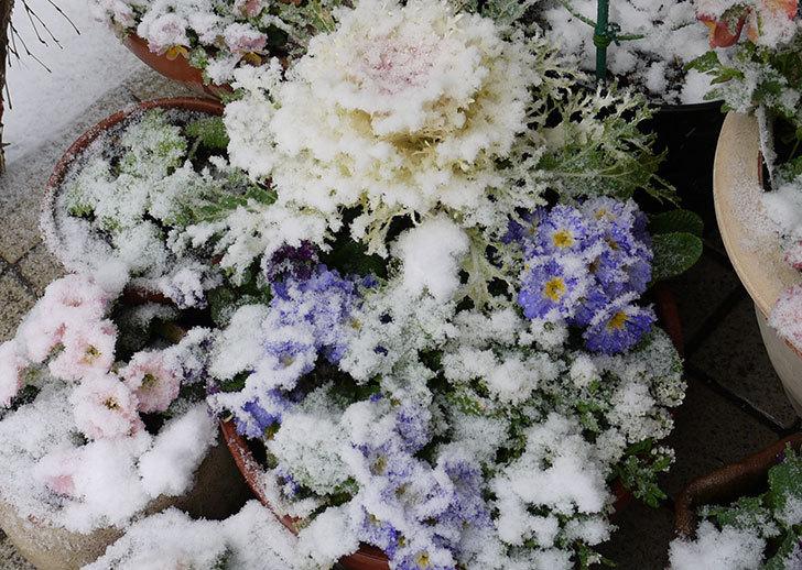 大きい鉢に植え替えた花が更に育ってきたが雪で駄目になりそう3.jpg