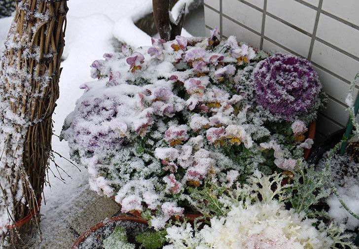 大きい鉢に植え替えた花が更に育ってきたが雪で駄目になりそう4.jpg