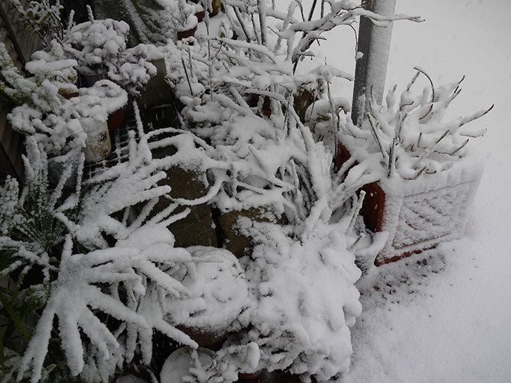 大きい鉢に植え替えた花が更に育ってきたが雪で駄目になりそう5.jpg