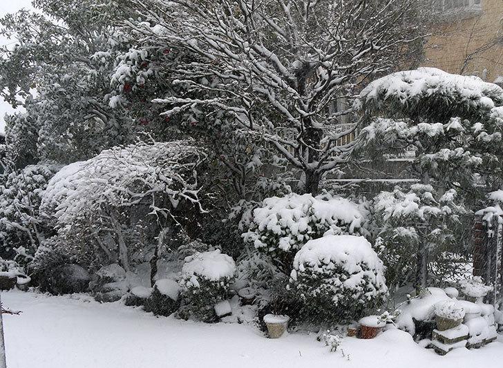 大きい鉢に植え替えた花が更に育ってきたが雪で駄目になりそう9.jpg
