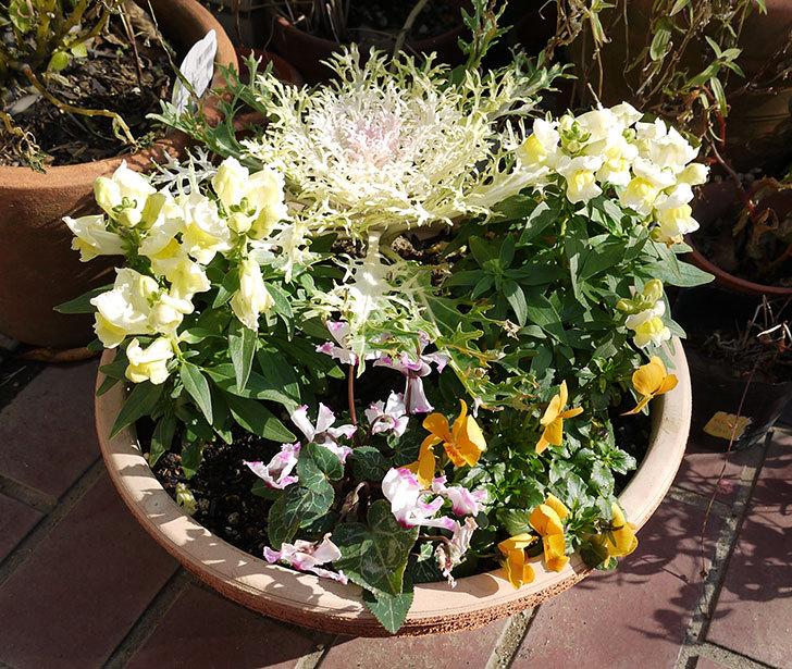 大きい鉢に植え替えた花が良い感じになってきた1.jpg