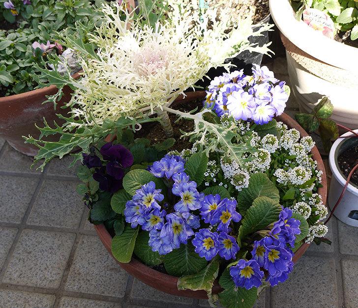 大きい鉢に植え替えた花が良い感じになってきた2.jpg