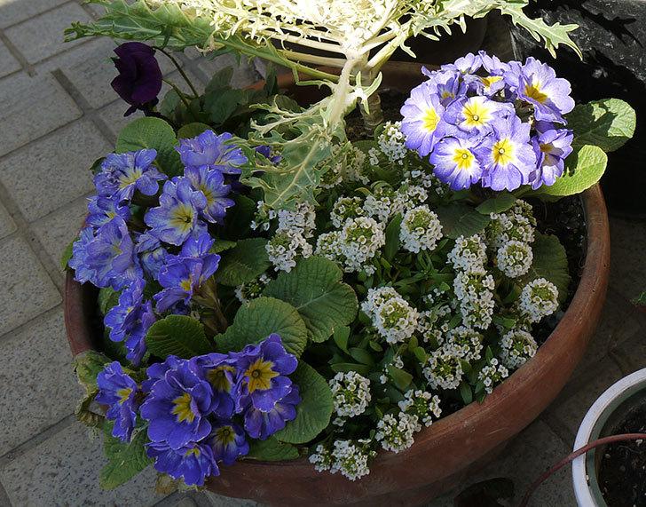 大きい鉢に植え替えた花が良い感じになってきた3.jpg