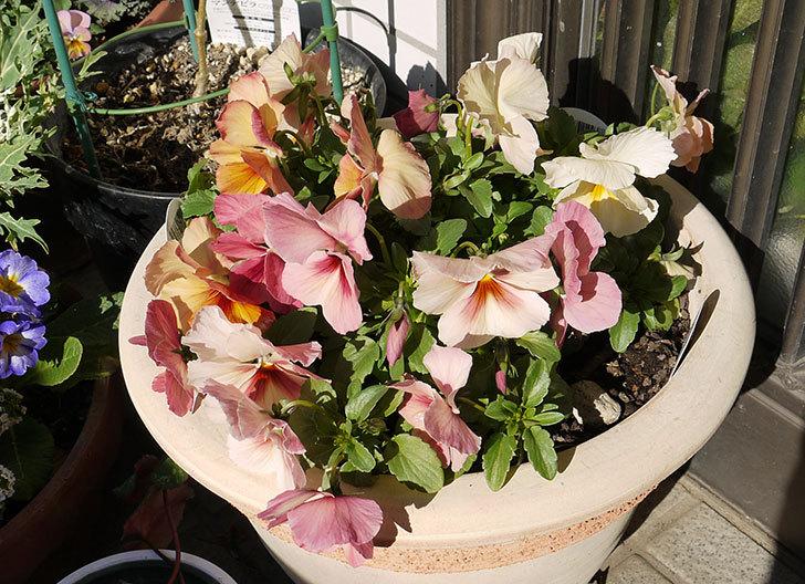 大きい鉢に植え替えた花が良い感じになってきた4.jpg