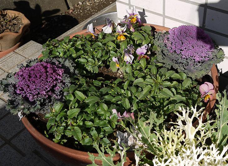 大きい鉢に植え替えた花が良い感じになってきた5.jpg