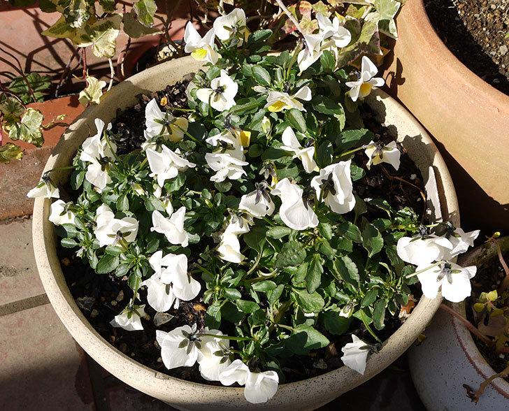 大きい鉢に植え替えた花が良い感じになってきた6.jpg