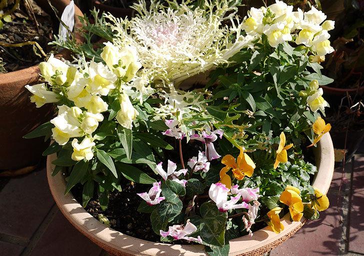 大きい鉢に植え替えた花が良い感じになってきた7.jpg