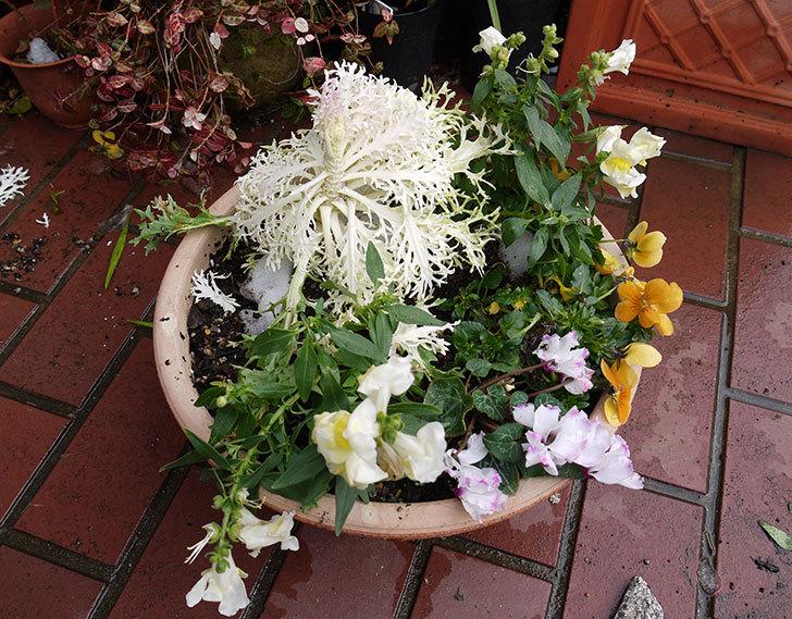 大きい鉢に植え替えた花が雪で折れた1.jpg